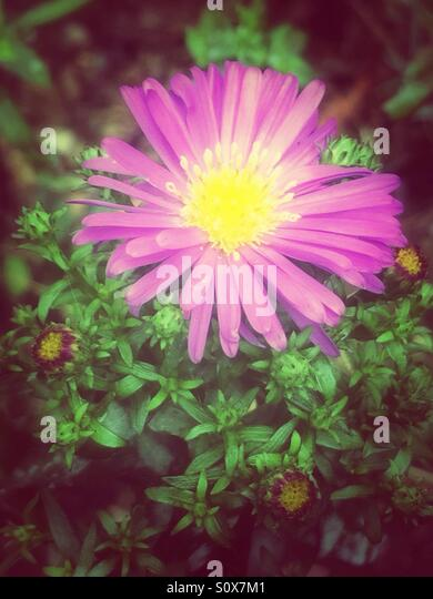 Purple aster flower with buds - Stock Image
