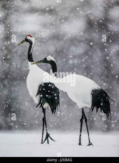 Two Japanese cranes stand in the snow. Japan. Hokkaido. Tsurui. Great illustration. - Stock Image