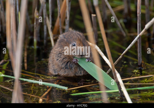 Water Vole, Arvicola terrestris, single adult feeding on reeds. Essex, UK. - Stock Image