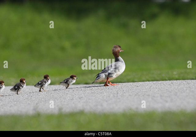 Germany, Munich, View of goosander with chicks follwing it - Stock Image