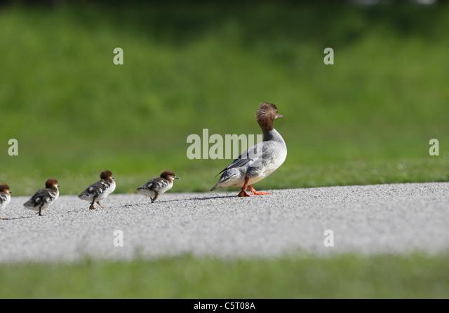 Germany, Munich, View of goosander with chicks follwing it - Stock-Bilder