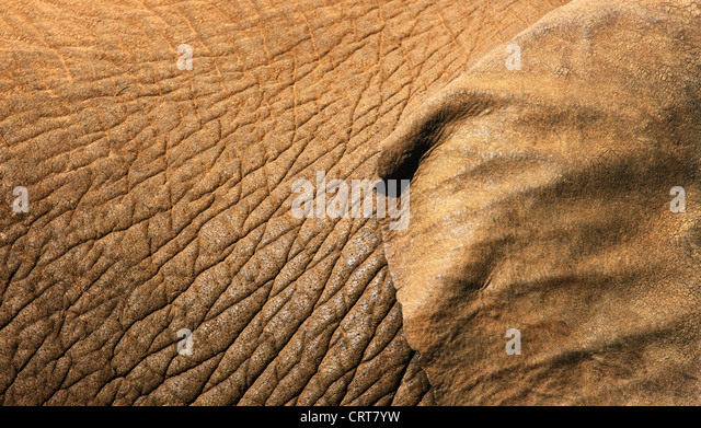 African Elephant skin texture close-up with part of ear showing (Addo Elephant National Park - South Africa) - Stock Image