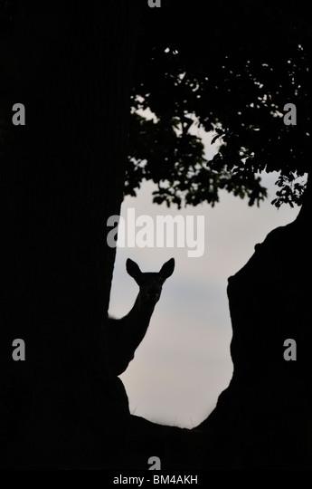 Red Deer (Cervus elaphus). Hind in autumnal rut in a woodland glade at dusk, Bradgate Park, Leicestershire, UK. - Stock-Bilder