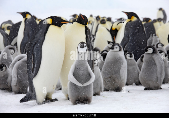 Emperor penguin colony with chicks, October, Snow Hill Island, Weddell Sea, Antarctica. - Stock Image