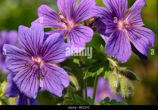 Single petal geraniums Trailing Double Geraniums