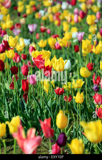 Colorful tulip field, Tulip Fest, Wooden Shoe Tulip Farm, Woodburn, near Portland, Oregon USA - Stock Image