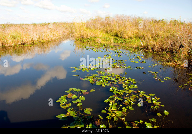 Everglades National Park Florida lily pads pond sawgrass wilderness 'sea of grass' nobody copy space text - Stock Image
