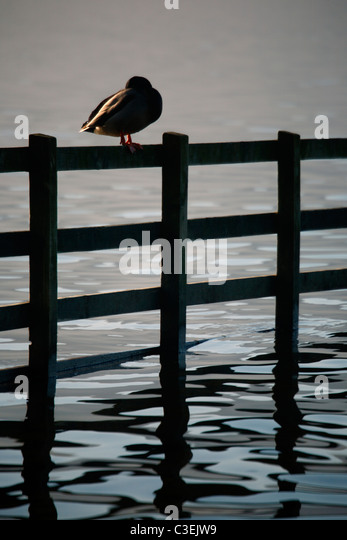 A lone Mallard sleeps atop a fence on the shore of Derwent Water near Keswick in the Lake District of England - Stock Image