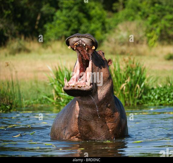 Yawning hippo - Stock Image