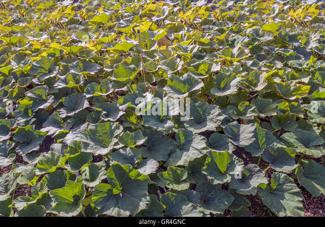 Butternut Squash Crop Allotment - Stock Image