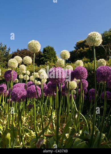 Purple and White Alliums at Ventnor Botanical Gardens Isle of Wight England UK - Stock Image