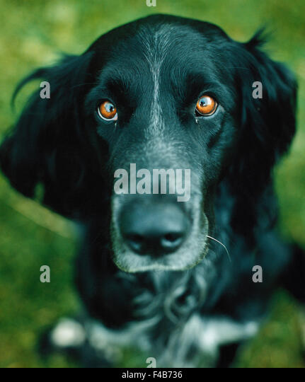 catalogue 2 close-up color image detail dog domestic animals eye glance look muzzle one animal pet Swedish catalogue - Stock-Bilder