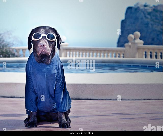 Chocolate Labrador in Swimming Gear - Stock Image