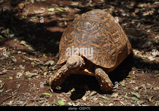 African land turtle - Stock Image