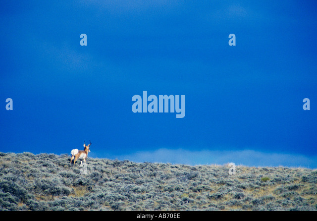 A pronghorn antelope Antilocapridae on the plains of Wyoming COPYRIGHT DUANE BURLESON - Stock Image