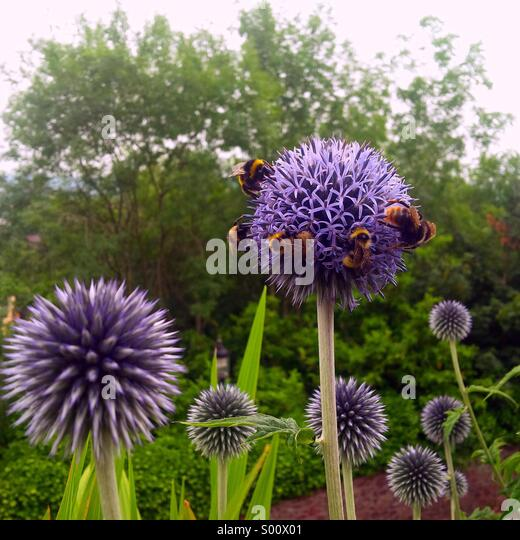 Bumble bees all over a thistle flower in an English garden. - Stock Image