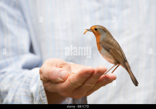 Robin feeding on mealworms from a mans hand - Stock-Bilder
