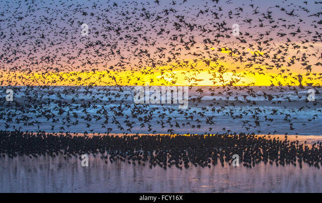 Blackpool, Lancashire, UK. 25th January, 2015. Starlings Gather as Storm Approaches. Starling murmuration at sunset.The - Stock Image