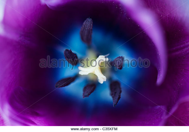 Tulipa. Purple tulip flower middle - Stock Image