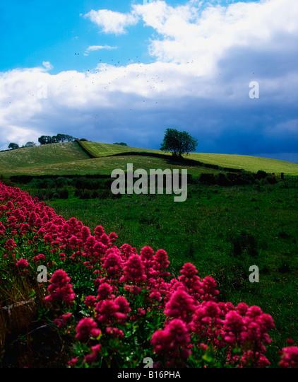 Valerian growing wild on stone wall near Strangford, Co Down, Ireland - Stock Image