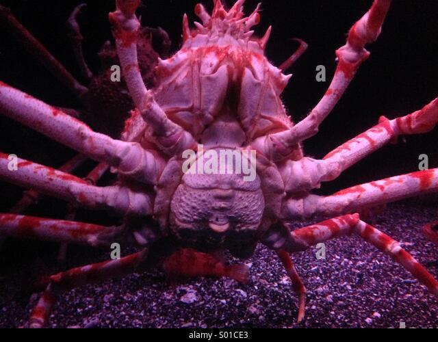 Giant crab in the aquarium in Tokyo - Stock Image