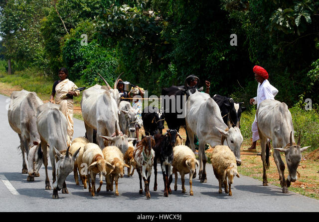 Indian man with cattle and sheeps on the road, Karnataka, India - Stock-Bilder