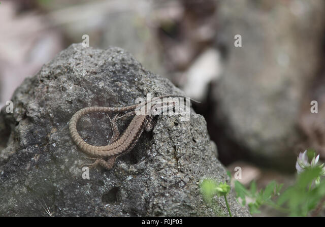 Wall lizard Podarcis muralis basking on rock - Stock Image