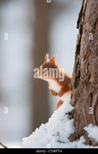 Red Squirrel (Sciurus vulgaris). Adult in snow in pine forest. - Stock Image