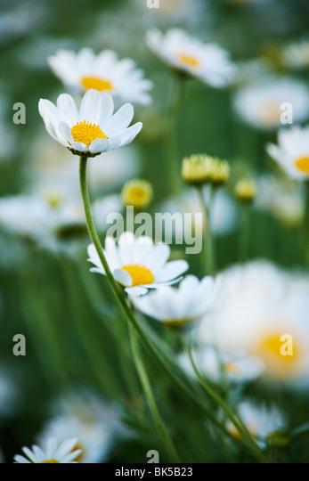 daisy background - Stock-Bilder