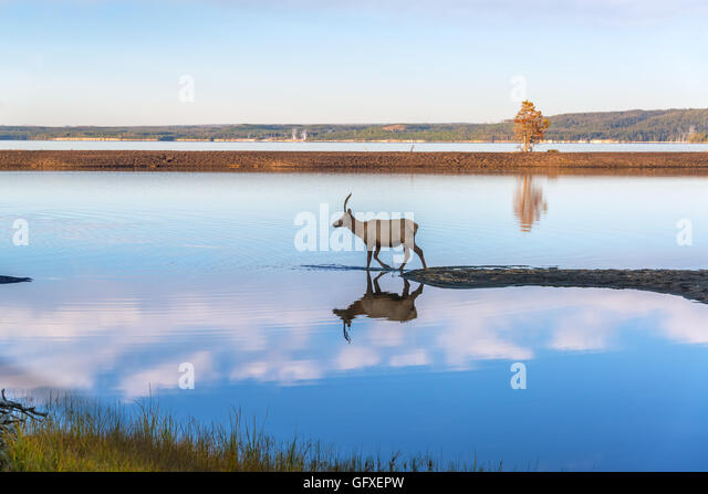 Young Elk reflected in the clear blue water of Yellowstone Lake in Yellowstone National Park - Stock-Bilder