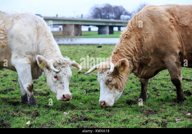 Cattle on a pasture in winter, Autobahn A40 motorway at the back, Ruhr Area, Mülheim an der Ruhr, Germany - Stock Image