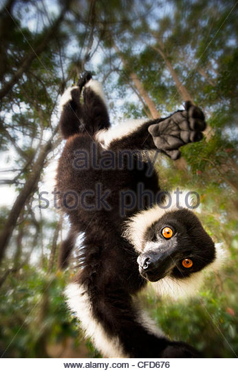 Adult Black & White Ruffed Lemur in suspensory posture. Andasibe-Mantadia National Park, eastern Madagascar - Stock Image
