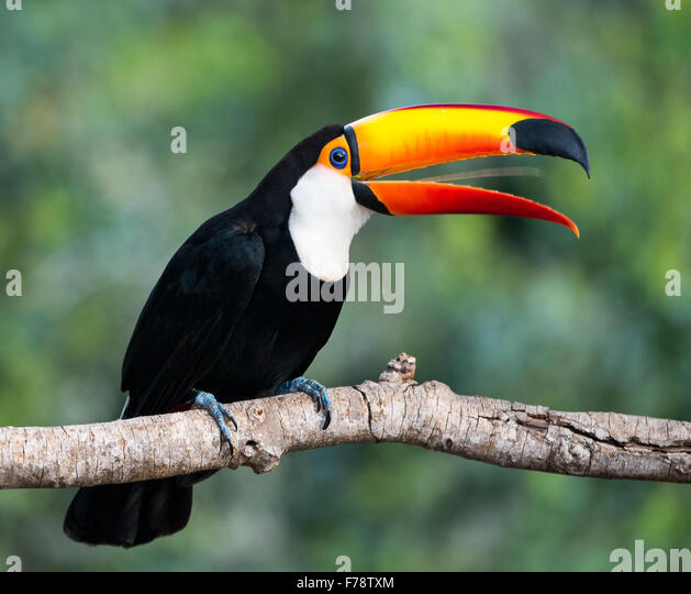 Toco Toucan (Ramphastos toco) tongue waggling - Stock Image