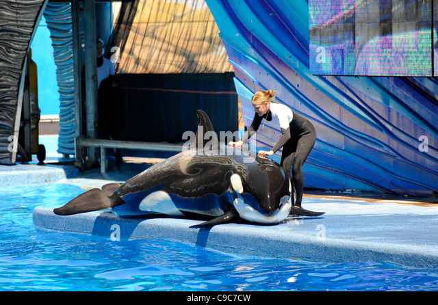 Sea World Adventure Theme Park Orlando Florida Shamu Killer whale - Stock Image