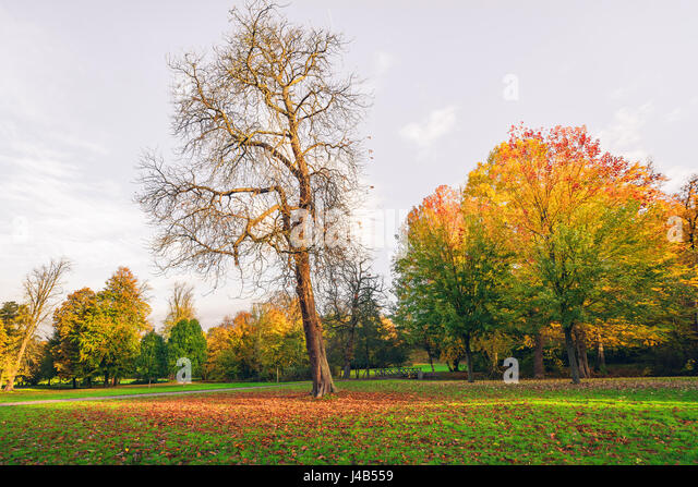 Autumn landscape with a large tree with fallen leaves covering the ground in autumn and tress with beautiful autumn - Stock Image