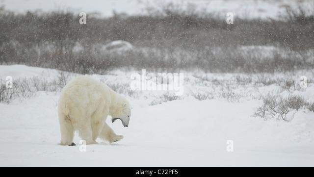 Yawning polar bear. Snow-covered tundra. It is snowing. Undersized bushes. - Stock Image