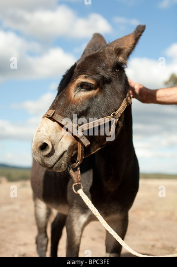 Profile portrait of a donkey with harness in a field - Stock Image