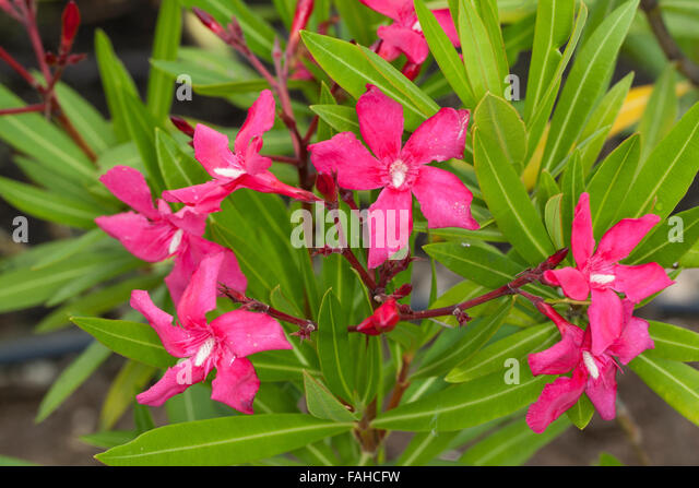 oleander bush stock photos oleander bush stock images alamy. Black Bedroom Furniture Sets. Home Design Ideas