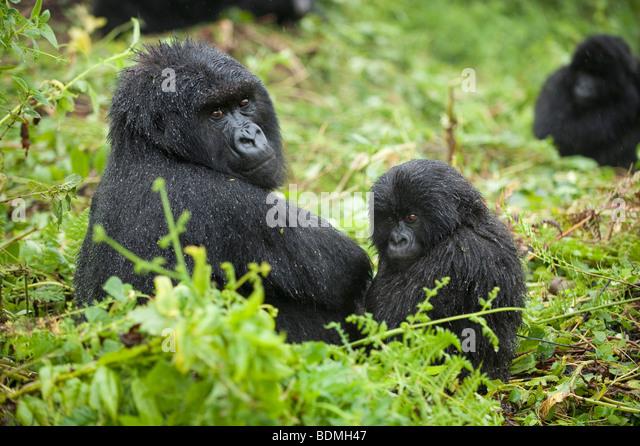 mountain-gorilla-gorilla-gorilla-berengi