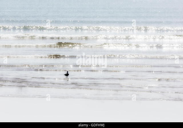 A seagull walks in the water at the beach. - Stock Image