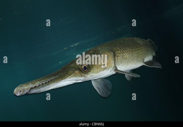 Cuban Gar, Atractosteus tristoechus, Isla de la Juventud, Cuba - Stock ...