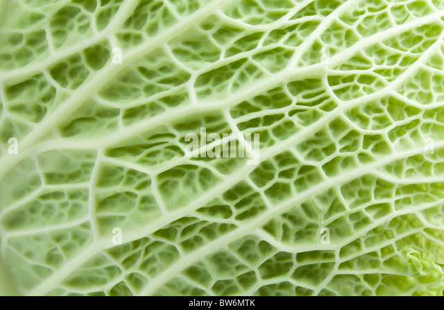 Image texture cabbage leaf - Stock Image