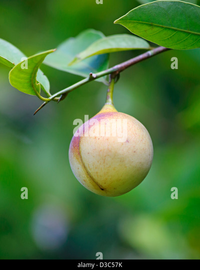 how to grow a nutmeg tree from seed