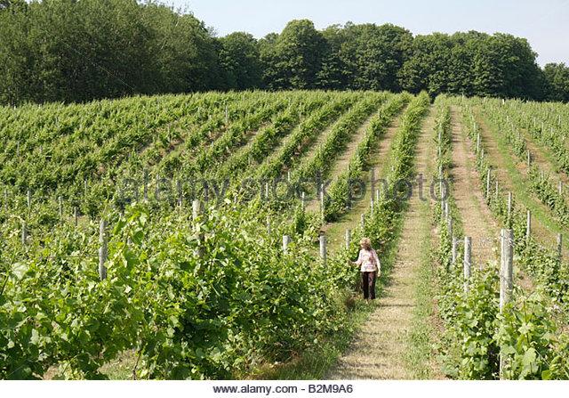 Michigan Traverse City Leelanau Peninsula Chateau Fontaine vineyard winery vines grapes trellis grapes plants farm - Stock Image