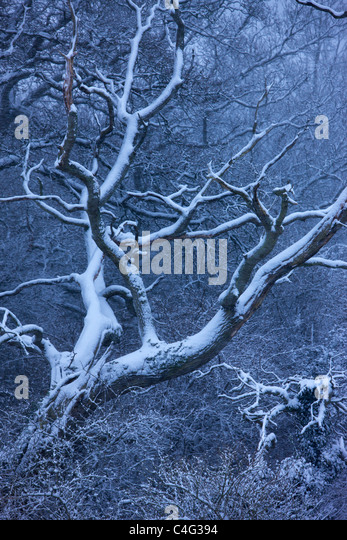 snow on the trees at Cadbury Castle, Somerset, England - Stock Image