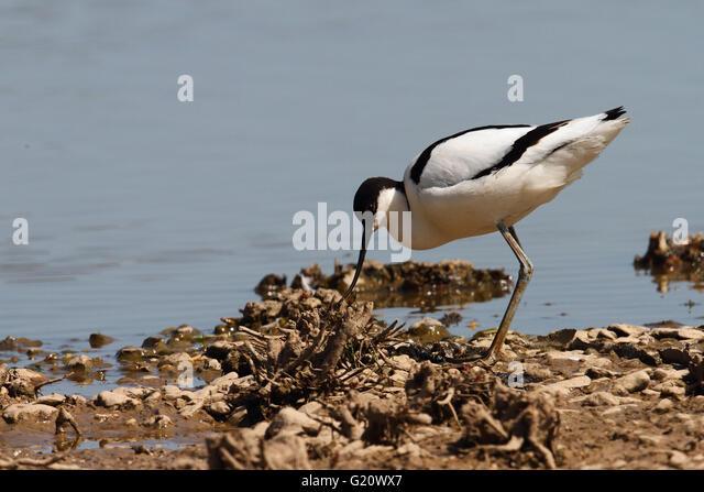 Avocet  [Recurvirostra avosetta] - Stock Image