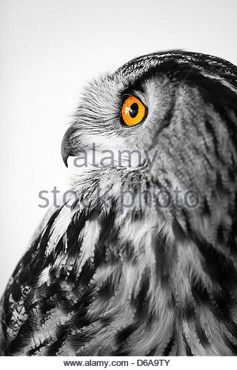 amazing close up photo of an eagle owl - Stock-Bilder