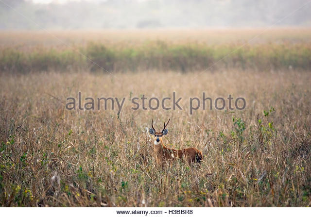 Marsh Deer Stag, (Blastocerus dichotomus), Pantanal, Mato Grosso State, Brazil. - Stock Image