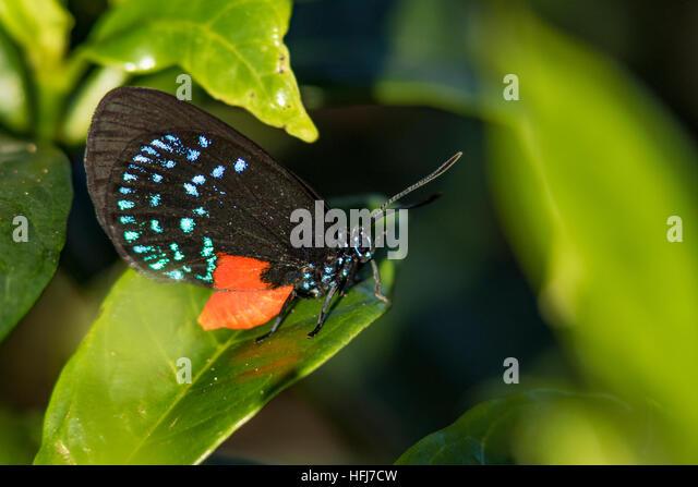 Atala Butterfly (Eumaeus atala) - Green Cay Wetlands, Boynton Beach, Florida, USA - Stock Image
