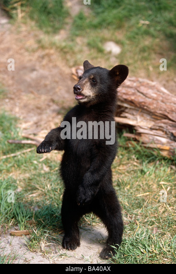 Young black bear cub standing upright Captive Alaska Wildlife Conservation Center Summer - Stock Image